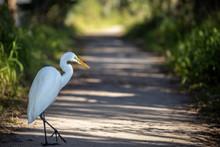 White Egret 02