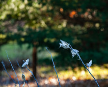 White Common Milkweed Stems And Seed Pods With A Colorful Background Of Trees And Sun Spots.
