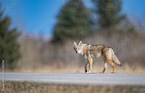 Foto A coyote in Banff, Canada