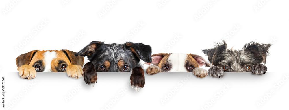 Fototapeta Dogs Peeking Eyes and Paws Over White Web Banner