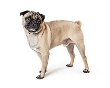 Fawn Pug Dog Standing Profile