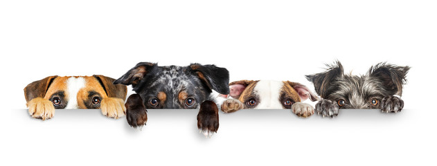 Panel Szklany Pies Dogs Peeking Eyes and Paws Over White Web Banner