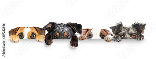 Dogs Peeking Eyes and Paws Over White Web Banner - 307282946