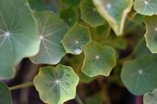 Dew Drop In Green Leaves