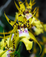 Star Orchids