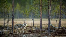 Gray Wolf(Canis Lupus) At Twil...