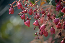 Red Pink Bell Shaped Flowers O...