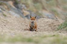 Red Fox In Nature Near Big Ballast Stones