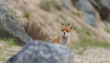 Red Fox In Nature Near Big Ballast Stones