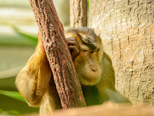 Macaque Monkey Sleeps Leaning Against Stem
