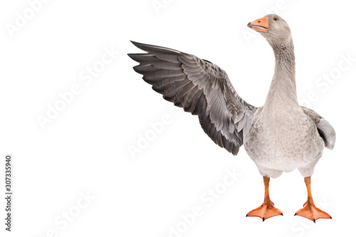 Tablou Canvas Funny goose points wing to side standing isolated on white background