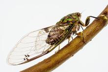 Adult Chorus Cicada,  Amphipsa...