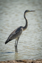 Grey Heron Stands Staring In Sunlit Shallows