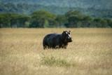 Fototapeta Sawanna - Hippo stands in long grass eyeing camera