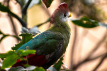 Red-crested Turaco (Tauraco Er...