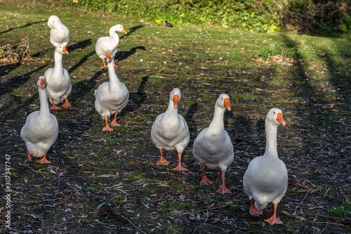 Gaggle of Geese walking along the riverbank of the Great Ouse in Ely Fototapeta