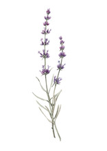 Beautiful Watercolor Floral Bouquet With Isolated Lavanda Flowers. Stock Illustration.