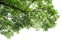 Green Tree Leaves And Branches...