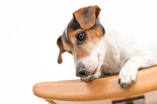Little Cute Jack Russell Dog Is Lying Obediently On A Stool. Background Is White Isolated