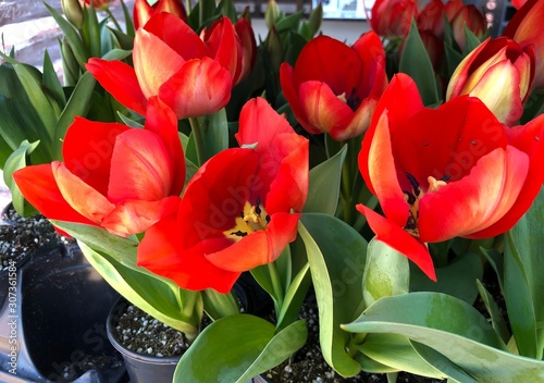 Blooming red tulips in black flower pots