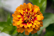 Zinnia Flowers A Frequent Visi...