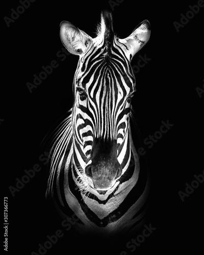 Burchell's zebra (Equus quagga burchellii) Canvas Print
