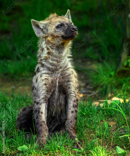 Fotografia, Obraz Spotted hyena (Crocuta crocuta)