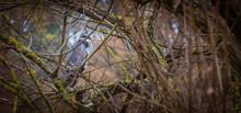 Grey Heron Ardea Cinerea Wild Bird Stood On Perch Of Branch In Large Tree