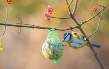 Blue Tit On The Fat Ball
