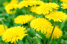Beautiful Spring Dandelion Flo...