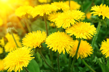 Spring dandelion flowers as background