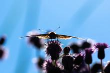 Macro Di Una Farfalla Vanessa Del Cardo In Controluce
