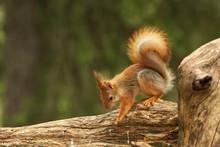 A Red Squirrel (Sciurus Vulgar...