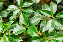 Green Branches Of Tropical Ficus Benjamin With Wet Dense Leaves And Drops Of Water After Rain Or Dew Closeup, Floral Background With Copy Space.