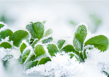 Frozen Leaf Clovers Macro Photo