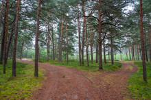 Beautiful Pine Forest On The Baltic Sea Seaside. Poland