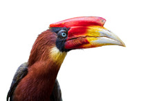 Southern Rufous Hornbill Isola...