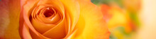 Nature View Of Orange Rose On Blurred Background Using As Background Natural Plants Landscape, Ecology Cover Page