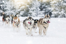 Sled Dog-racing With Alaskan M...