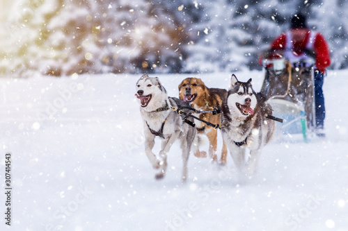 Photo Sled dog-racing with Alaskan malamute and husky dogs