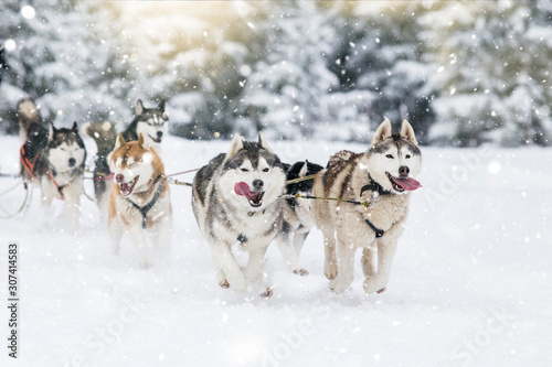 Photo Sled dog-racing with Alaskan malamute and husky dogs