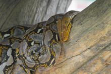 Close Up Head Burmese Python In Body On Stick Tree At Thailand