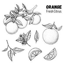 Orange Fruit Hand Drawn Collection, Graphic Elements. Vector Illustration. Orange Sketch For Menu Design, Brochure Illustration. Black And White. Citrus Orange Illustration. Can Used For Packaging