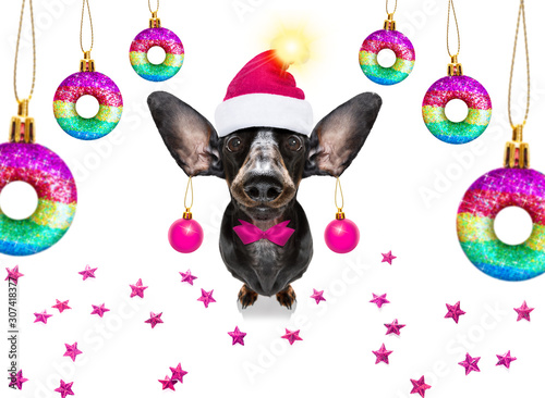 Foto op Canvas Crazy dog christmas santa claus dog and xmas balls or baubles hanging