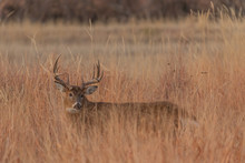 Whitetail Deer Buck In Tall Grass In The Fall Rut