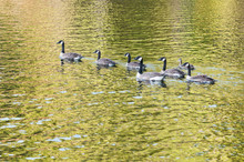 Flock Of Canada Geese Swimming...
