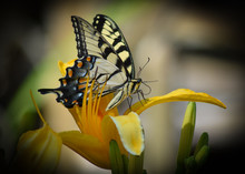 Eastern Tiger Swallowtail Posing On A Lily