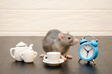 Gray Rat Sits With Cup Of Tea,...