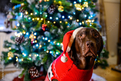 chocolate labrador sitting infront of christmas tree at home, holiday, New Year, Christmas