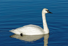 A Trumpeter Swans Swims Across...
